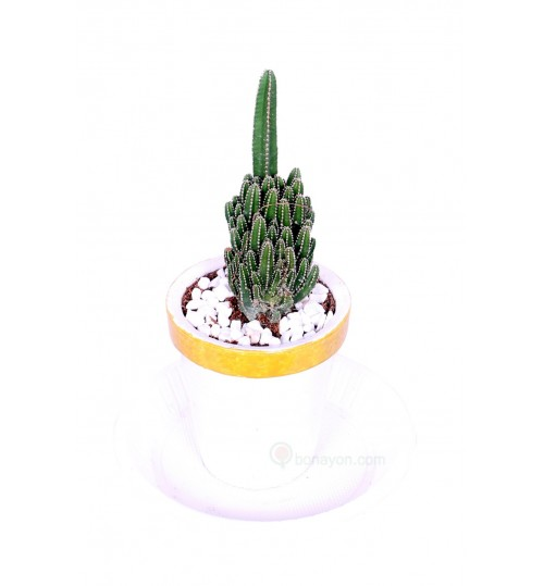 PENCIL CACTUS (GACODA) DESK INDOOR GIFT ITEM With Golden White Planter